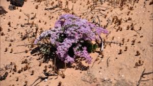 fuerteventura kwiaty