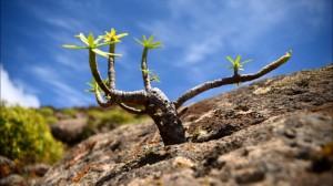 fuerteventura rośliny