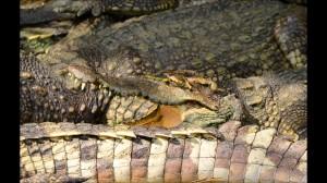 fuerteventura krokodyl