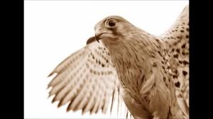 ptaki fuerteventura