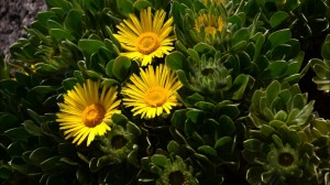 fuerteventura kwiatki